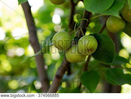 Unripe Apples In Kibbutz Ein Zivan Israel