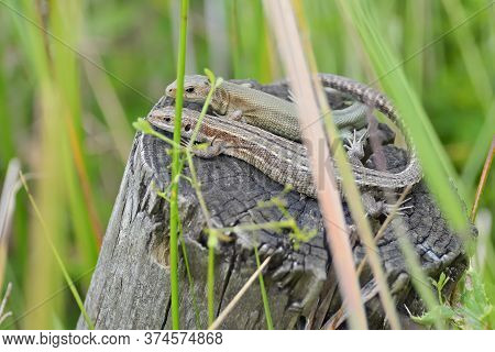 Amongst Wetland Plants, This Common Or Viviparous Lizard Couple Bask On A Wooden Post. Both Look At