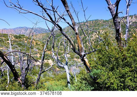 Parched Branches Of Oak Trees Which Were Burned During A Wildfire Surrounded By New Growth Oak Trees