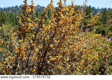 Flannel Bush Flower Blossoms Which Is A Chaparral Shrub Native To California\'s Mountainous Terrain