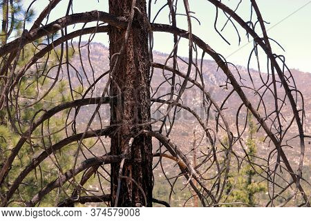 Parched Pine Tree Which Was Burned During A Past Wildfire Taken In The Arid San Gabriel Mountains, C