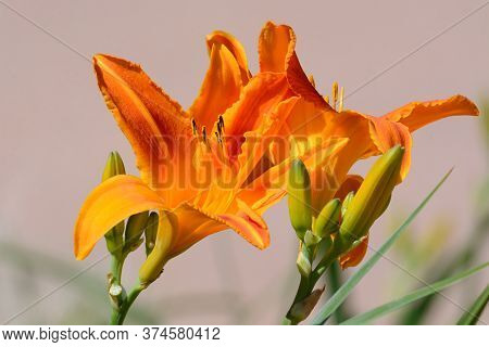 Closeup Of Blooming Orange Daylily Flowers With Stamens  And Buds