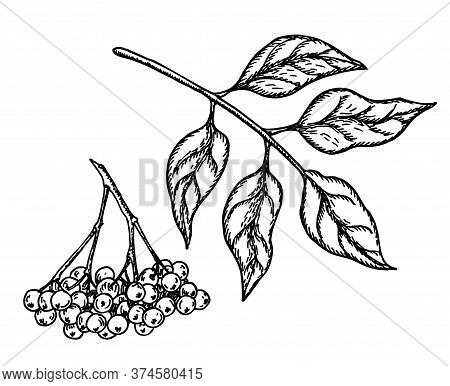 Black Elderberry Vector Sketch. Hand Drawn Botanical Branch With Berries And Leaves. Engraved Illust