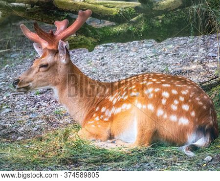 A Sika Deer Lying On The Ground And Grass. The Sika Deer, Cervus Nippon, Also Known As The Spotted D