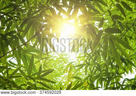 Bamboo Leaves, Green Leaf On Blurred Greenery Background. Beautiful Leaf Texture In Sunlight. Bamboo