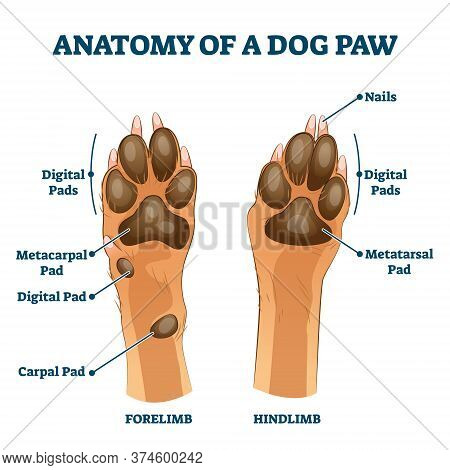 Anatomy Of Dog Paw Structure With Forelimb And Hindlimb Comparison Scheme Vector Illustration. Educa
