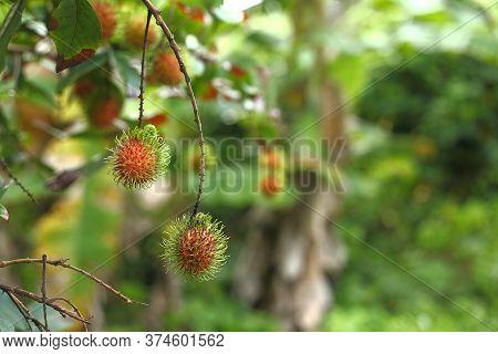 Rambutan Tree In Own Home Garden