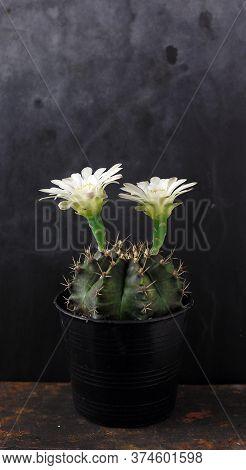 Gymnocalycium Cactus With Beautiful White Flower Against Black Background