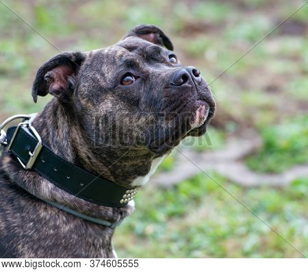 Staffordshire Bull Terrier Is A Very Popular Family Dog Also Known As A Babysitter Dog