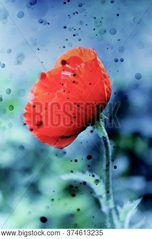 Beautiful Red Poppy With Black Ink Drops. The Collapse Of Hopes, Withering, And Sorrows Concept