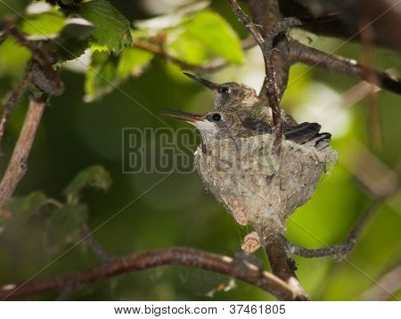 Humingbird Nest