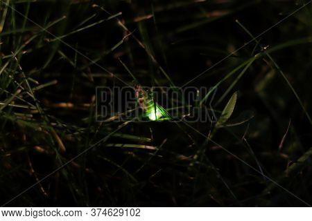 Female Common Glow-worm. European Glow-worm (lampyris Noctiluca) On A Blade Of Grass.