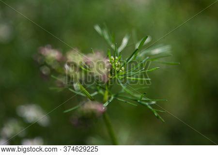 Beautiful Cilantro Coriander Flower, Coriandrum Sativum. Close-up. Selective Focus.