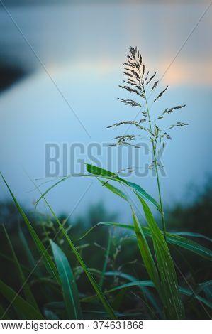 Long, Green Grass Blades Against Summer Evening Sky. Peaceful, Calm Scene.