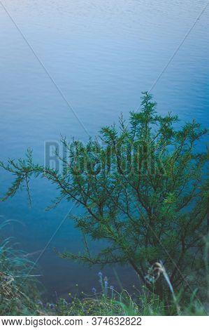 Spiny Needle Bush (vachellia Farnesiana) On The Shores Of A Lake In San Luis, Argentina.