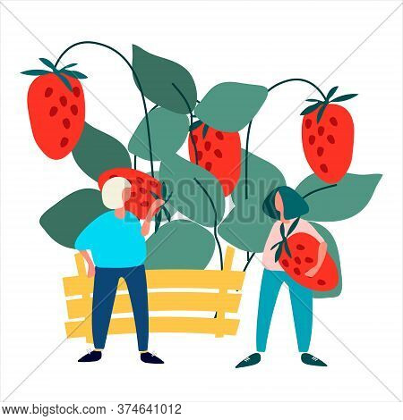 People Picking Strawberries Into Crate Vector Illustration. Harvesting Concept. Agritourism Concept.