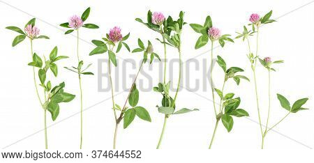 Clovers Flowers Collection Isolated On White Background. Set With Foliage And Stem.