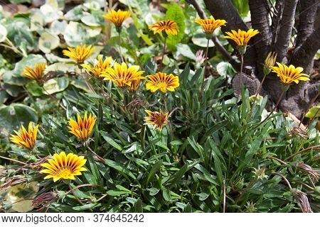 Yellow Treasure Flowers Also Known As Gazanias Or Pied Gazanias Which Are Native To South Africa