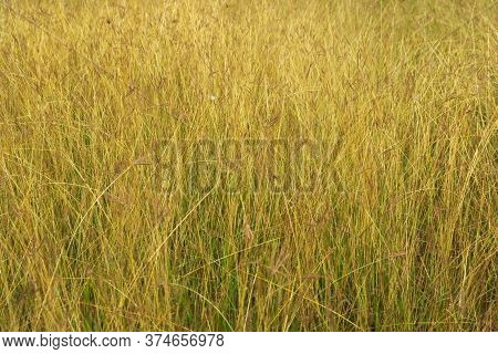 Tall Yellow Grass On An Uncultivated Field. Full Frame Texture Background.