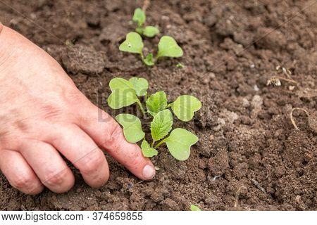 Radish Seedlings. Garden Work. Take Care Of Radish Seedlings
