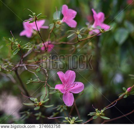 Azalea, Rhododendron, Purple Flowers Of Geranium Soboliferum (japanese Cranesbill) In A Greenhouse I