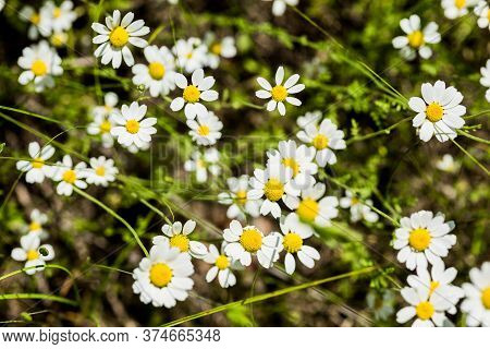 Blurred Differential Focus. Lots Of Bright White Daisies Growing On Green Meadow On Hot Summer Day.