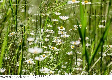 Blurred Differential Focus. There Are Lots Of Bright White Daisies Growing Among Tall Grass On Meado