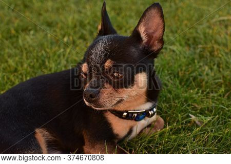 A Black And Tan Purebred Chihuahua Dog Puppy On The Grass Standing In Grass Outdoors And Staring Foc