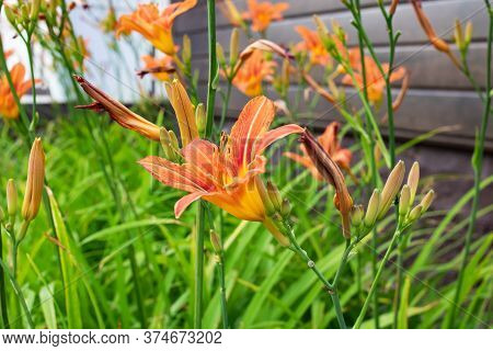 Orange Daylily Flower Among Green Leaves Closerup