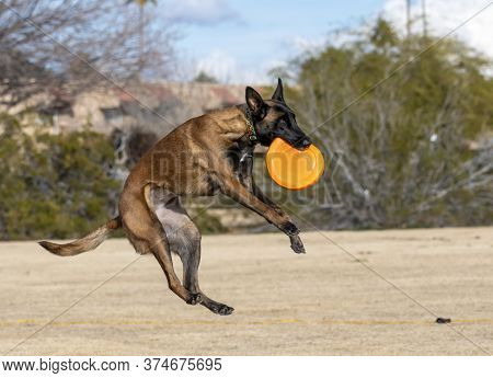 Belgian Malinois Playing A Disc Game At The Park Dropping Down After Catching The Orange Disc