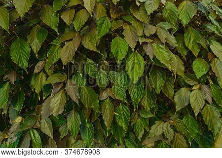 Natural Dark Green Leaf Wall, Texture Background