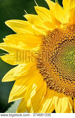 Yellow Pattern Of Blooming Sunflower Seeds With Petals On A Dark Bokeh Background. Macro Photography
