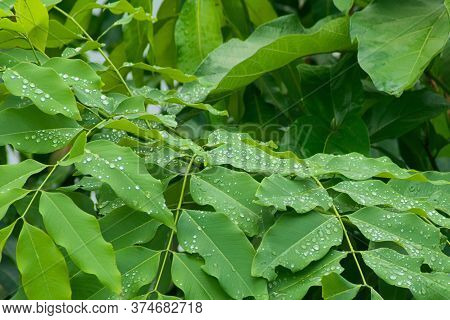 Raindrops Glistening Over Green Lush Leaves In The Jungle Of Laos.