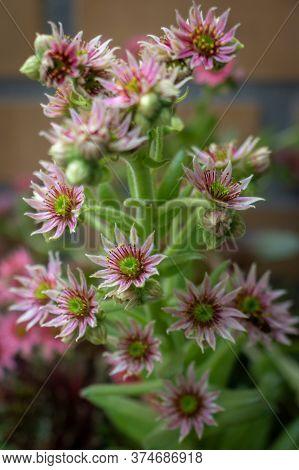 Close-up, Perennials, Red Blooming Sedum, Blossoming, Perennial, Hylotelephium, Crassula, Ornamental