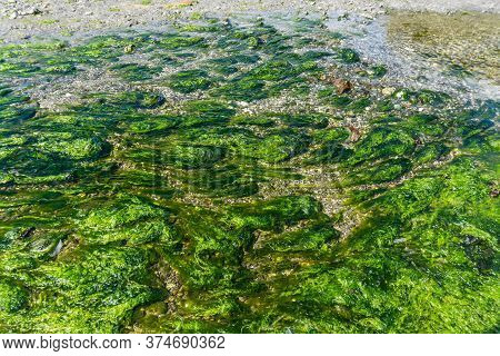Seaweed In A Tide Pool In The Pacific Northwest.