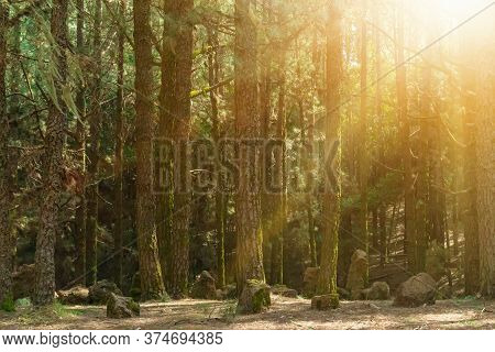 Magic Forest With Bright Sunshine. Pine Trees And Rocks On The Ground