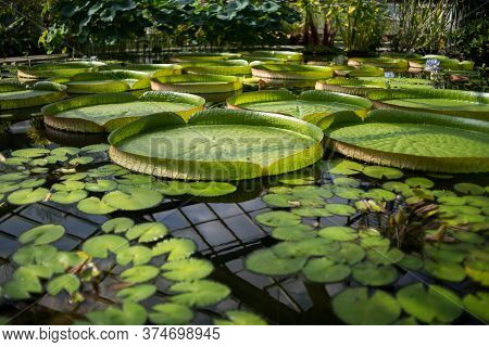Victoria Amazonian Water Lily In A Pool Of A Botanical Garden