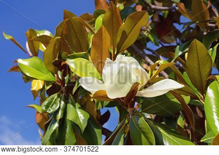 Branches Of Magnolia Tree (southern Magnolia, Magnolia Grandiflora ) Against Sky On Sunny Spring Day