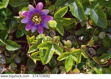 Passion Vine ( Passionflower, Passiflora ) - Evergreen Climbing Plant With An Exotic Flower On Sunny
