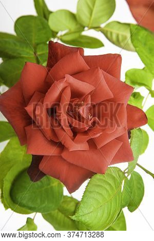 A Close-up Of Single Red Rose With Velvety Petals In Full Bloom Surrounded By Green Leaves.