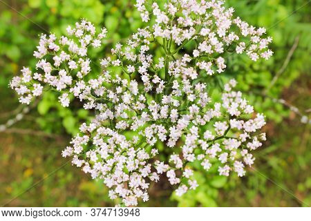 White Small Flowers. Nature And Plants In The Summer.