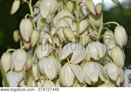 Yucca Blooms A Beautiful White Flower. Nature, Leaf, White