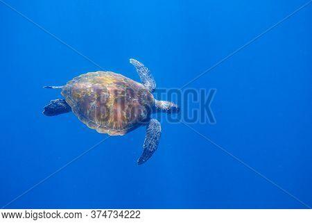 Sea Turtle In Open Sea. Cute Animal Underwater Photo. Green Sea Turtle Full Body In Natural Environm