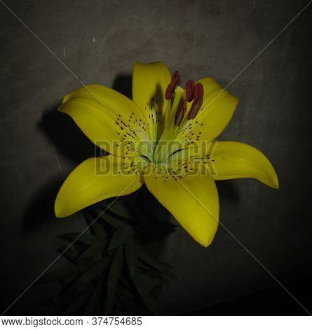 A Branch Of Lilium Yellow Flower In Summer. Branch Of Flower Hemerocallis Lilioasphodelus Also Calle