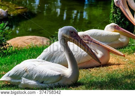 Flock Of Great White Pelicans (pelecanus Onocrotalus) Also Known As The Eastern White Pelican, Rosy