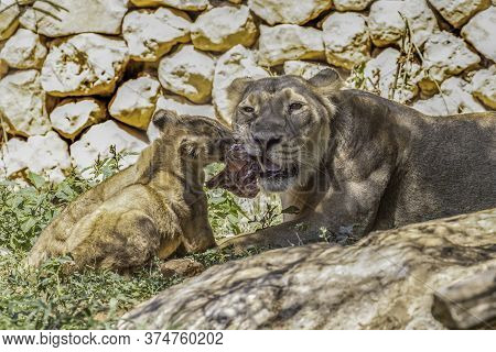 An Asian Lioness And Her Young Cubs Eating In Their Compound In The Jerusalem, Israel, Zoo.