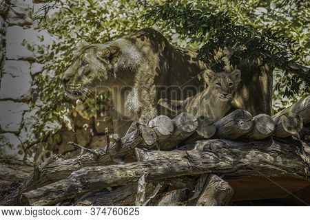 An Asian Lioness And Her Young Cub In Their Compound In The Jerusalem, Israel, Zoo.