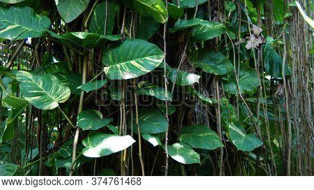 Tropical creepers. Big tropical plant. Epipremnum aureum. Big white-green creeper leaves