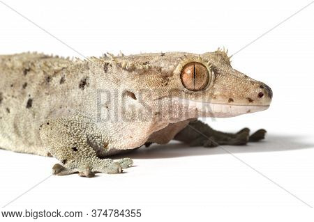 Dalmatian Crested Gecko Close-up Isolated On A White Background