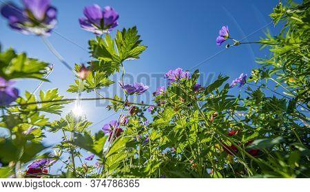 Garden With Perennials Flowers Geranium Close Up